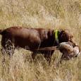 NECESITATEA CAINELUI DE VANĂTOARE ÎN PRACTICA CINEGETICĂ Cainele este animalul utilizat de om din cele mai vechi timpuri, începuturile acestei practici pierzandu-se undeva, în negurile, preistoriei. Simpaticul si folositorul patruped […]