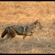 Locuitorii din Giurgiu şi din împrejurimi pot da nas în nas cu şacalul. Un mamifer carnivor sălbatic din familia Canidae asemănător cu lupul, dar mai mic decât acesta, cu coada […]