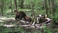 Haideți să vă povestesc ceva despre știință și practică…: În ultima perioadă de timp am avut mult de furcă cu urșii, atât noi silvicultorii, cinegeticieni, proprietari de stână, dar având […]
