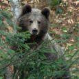 Președintele CJ Harghita: Bruxelles-ul nu sprijină exportul de urși; situația acestora trebuie rezolvată de fiecare stat în parte Președintele Consiliului Județean Harghita, Borboly Csaba, susține că Uniunea Europeană nu sprijină […]