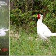 Indignare printre vânătorii din Alba, după ce unul dintre ei a împușcat vedeta AJVPS, un fazan alb foarte rar Un fazan alb, foarte rar, adevărată vedetă printre vânătorii din […]