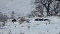 """foto: dr. Felix Bogdan Dragomir  CIURDE ÎN MIȘCARE Pe măsură ce se răcește vremea, iar zăpada se așterne insistent, în straturi succesive, sălbăticiunile își agonisesc tot mai greu """"pâinea […]"""